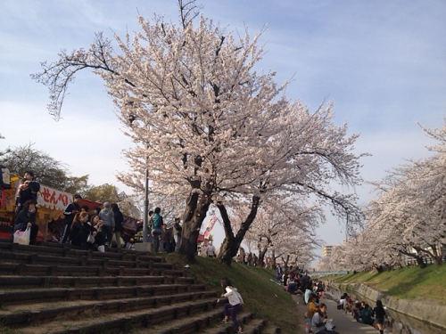 高田川の千本桜@大中公園(大和高田市)-04
