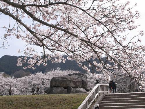 満開の桜@石舞台古墳(明日香村)-02