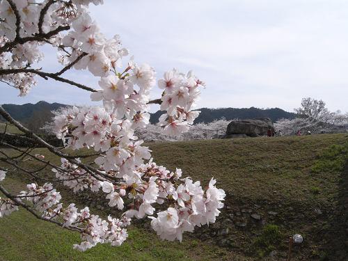 満開の桜@石舞台古墳(明日香村)-03