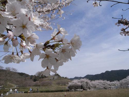 満開の桜@石舞台古墳(明日香村)-09