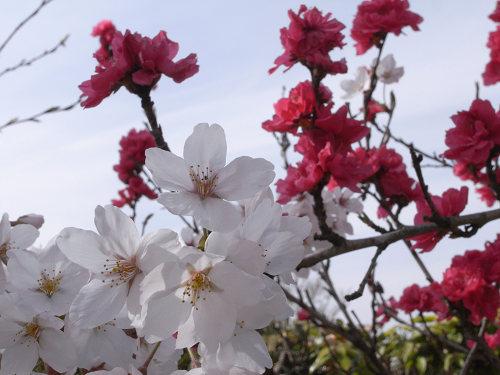 満開の桜@石舞台古墳(明日香村)-10