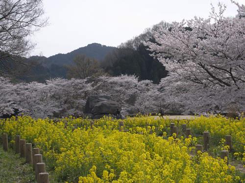 満開の桜@石舞台古墳(明日香村)-14