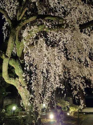 しだれ桜 2013年 @専称寺(香芝市)-02