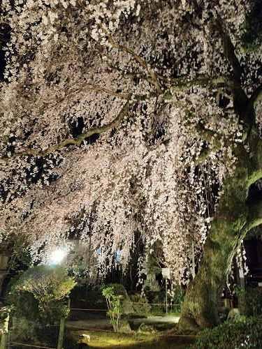 しだれ桜 2013年 @専称寺(香芝市)-03