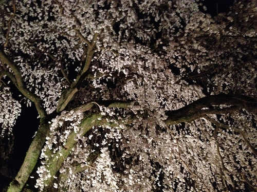 しだれ桜 2013年 @専称寺(香芝市)-06