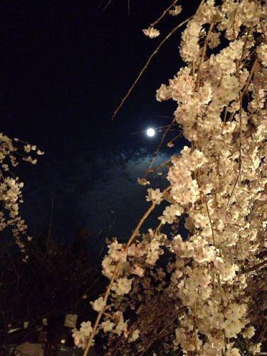 しだれ桜 2013年 @専称寺(香芝市)-10