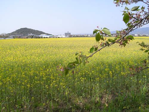 満開の『菜の花』@藤原宮跡-06