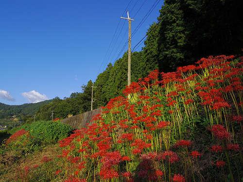 飛鳥の棚田と彼岸花、そして案山子 @明日香村稲渕地区