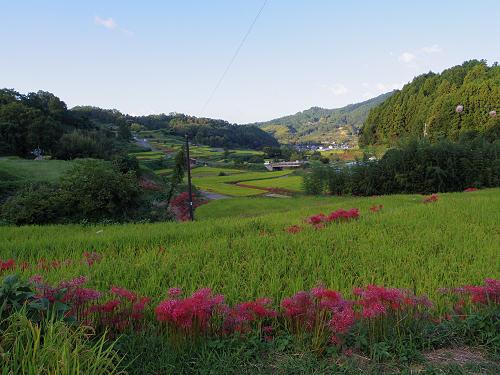 棚田と彼岸花と案山子@明日香村稲渕地区-10