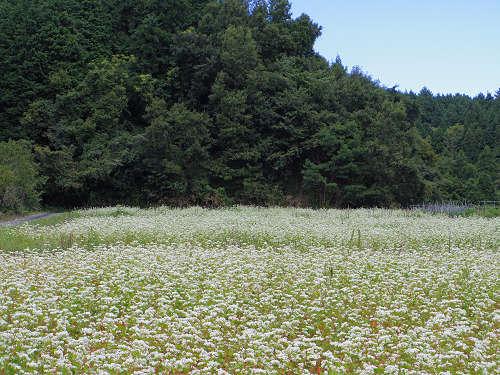 満開の「蕎麦」の花@桜井市笠地区-06