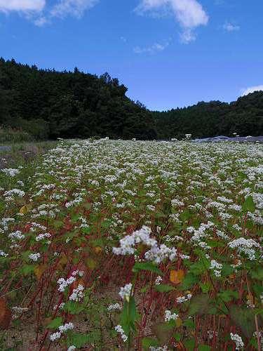 満開の「蕎麦」の花@桜井市笠地区-08