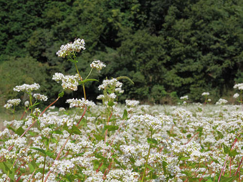満開の「蕎麦」の花@桜井市笠地区-11