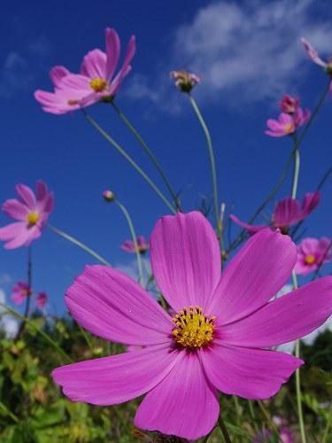 満開の「蕎麦」の花@桜井市笠地区-14