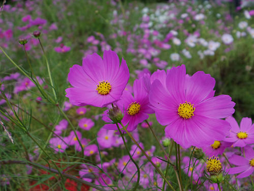 満開の「蕎麦」の花@桜井市笠地区-16