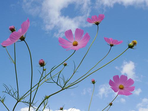 満開の「蕎麦」の花@桜井市笠地区-17