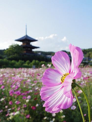 法起寺三重塔とコスモス@斑鳩町-09