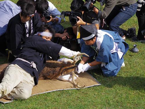 奈良の秋の伝統行事『鹿の角きり』@鹿苑角きり場