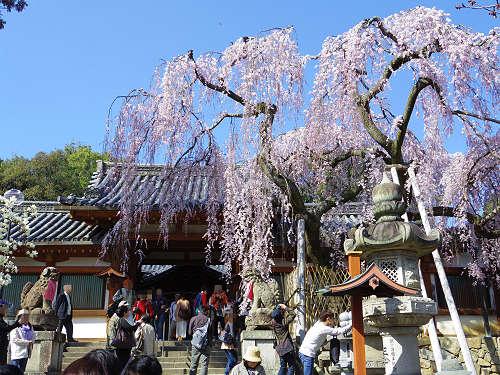 「奈良の一番桜」枝垂れ桜@氷室神社(奈良市)-03