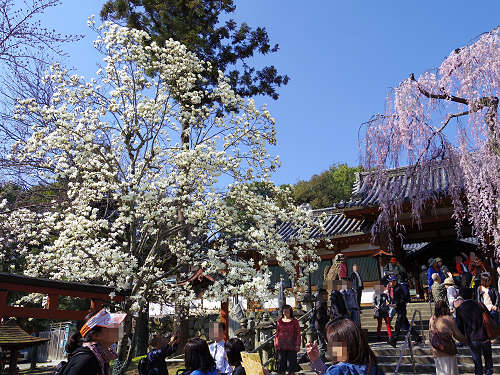 「奈良の一番桜」枝垂れ桜@氷室神社(奈良市)-04