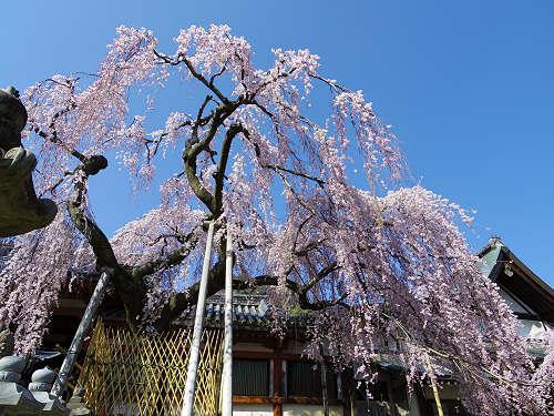 「奈良の一番桜」枝垂れ桜@氷室神社(奈良市)-05