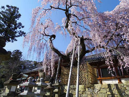 春を告げる「奈良の一番桜」枝垂れ桜@氷室神社(奈良市)