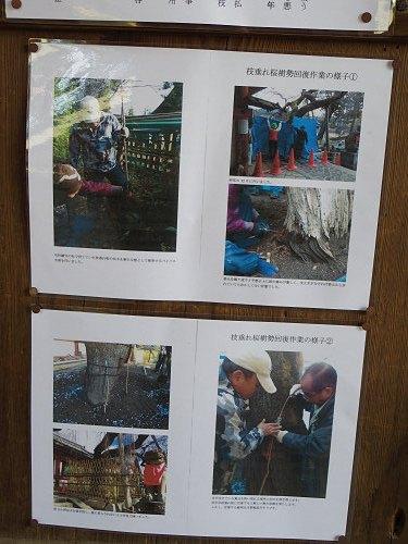 「奈良の一番桜」枝垂れ桜@氷室神社(奈良市)-08