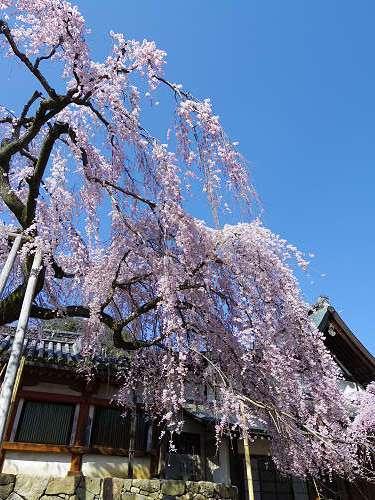 「奈良の一番桜」枝垂れ桜@氷室神社(奈良市)-10