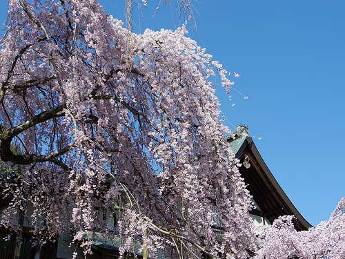 「奈良の一番桜」枝垂れ桜@氷室神社(奈良市)-11
