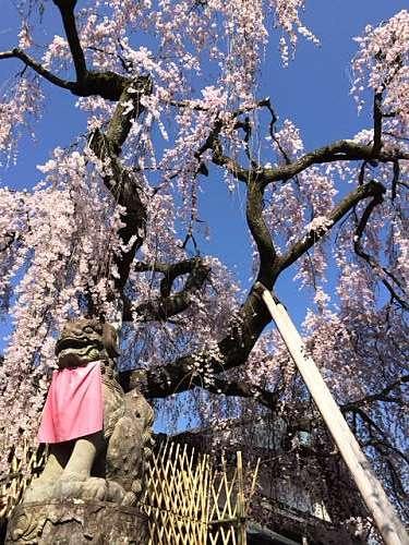 「奈良の一番桜」枝垂れ桜@氷室神社(奈良市)-12