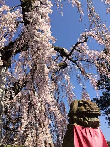 「奈良の一番桜」枝垂れ桜@氷室神社(奈良市)-13