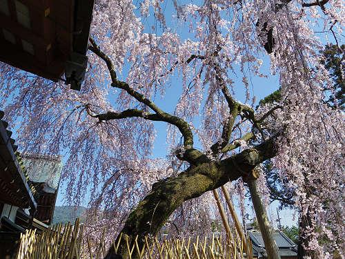 「奈良の一番桜」枝垂れ桜@氷室神社(奈良市)-14