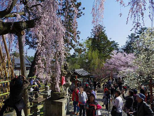 「奈良の一番桜」枝垂れ桜@氷室神社(奈良市)-15
