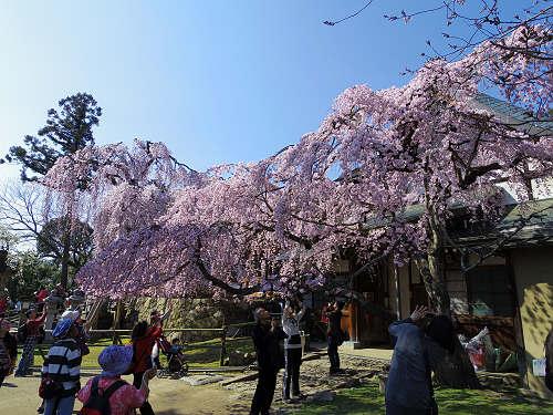 「奈良の一番桜」枝垂れ桜@氷室神社(奈良市)-16