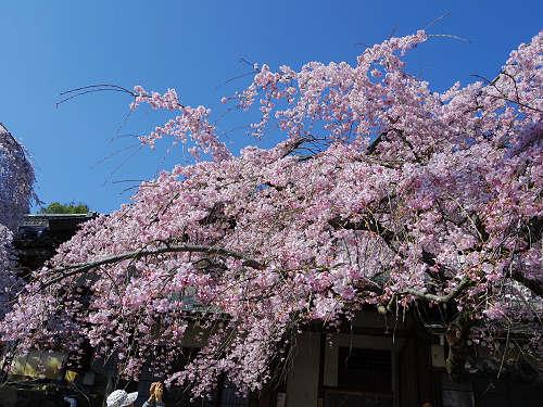 「奈良の一番桜」枝垂れ桜@氷室神社(奈良市)-17
