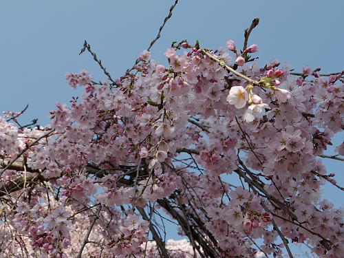 「奈良の一番桜」枝垂れ桜@氷室神社(奈良市)-18