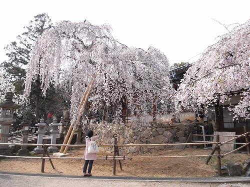 「奈良の一番桜」枝垂れ桜@氷室神社(奈良市)-19