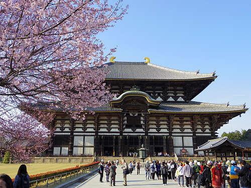 東大寺大仏殿前の桜。日本の春らしい光景です