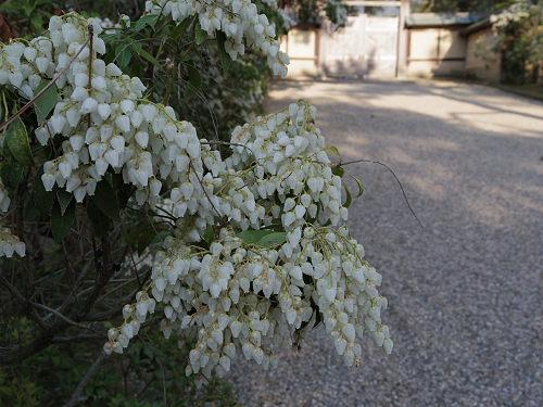 桜@東大寺大仏殿前-10