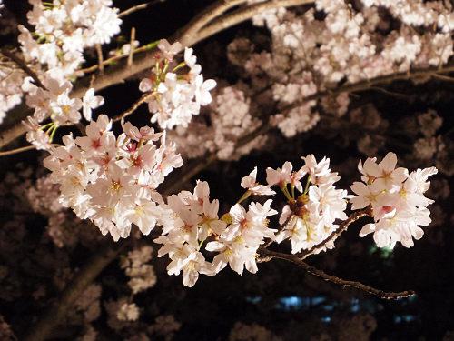 高田の千本桜@大中公園(大和高田市)-06