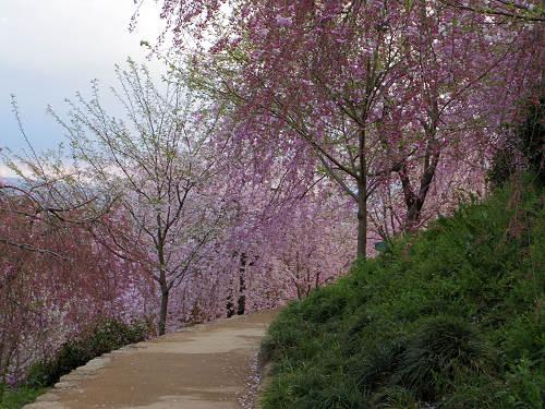 桜満開の『大美和の杜展望台』@大神神社-04