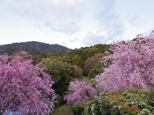 桜満開の『大美和の杜展望台』@大神神社-06
