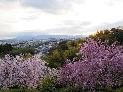 桜満開の『大美和の杜展望台』@大神神社-07