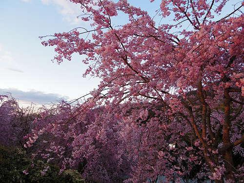 桜満開の『大美和の杜展望台』@大神神社-16