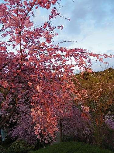 桜満開の『大美和の杜展望台』@大神神社-17