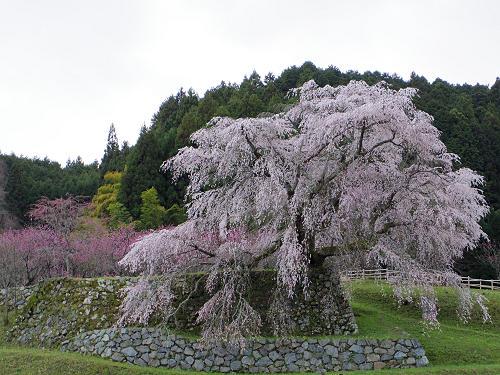 樹齢300年の「本郷の瀧桜」!満開の『又兵衛桜』@宇陀市