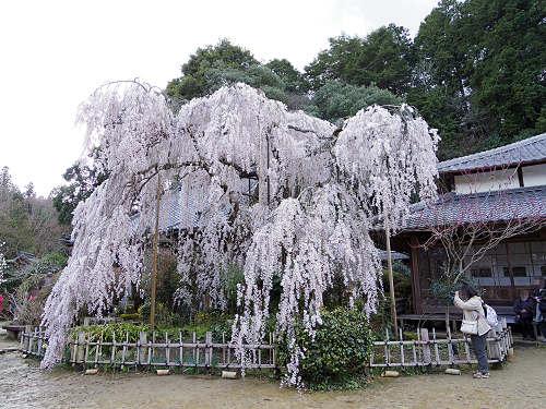 「小糸しだれ桜」2本の古木が満開の『大野寺』@宇陀市