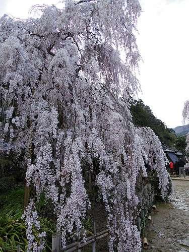 小糸しだれ桜の『大野寺』@宇陀市-03