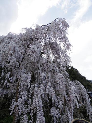 小糸しだれ桜の『大野寺』@宇陀市-04