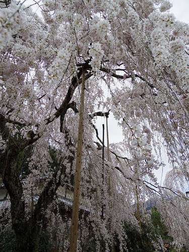 小糸しだれ桜の『大野寺』@宇陀市-08