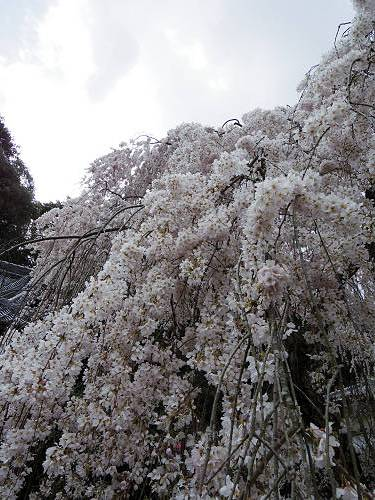 小糸しだれ桜の『大野寺』@宇陀市-09